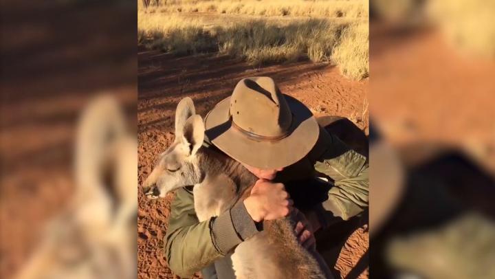 Кенгуру в Австралии узнал своего спасителя и не удержался от обнимашек