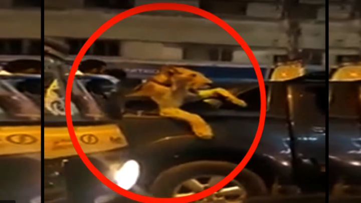 В Пакистане арестовали мужчину, прокатившего в пикапе львицу