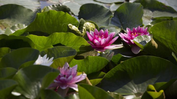Житель села Бардар посадил в пруду три сотни кувшинок