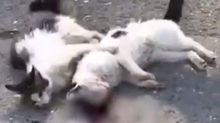 В Махачкале кот отказался покидать умирающего друга, которого сбила машина