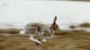 В столичном пригороде грызуны испортили сотни арбузов на частной плантации