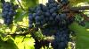 В Яловенском районе начали сбор столового винограда