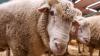 В Новой Зеландии овцы спасли кроликов от наводнения