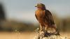 В Непале местные жители кормят орлов говядиной, чтоб они не исчезли