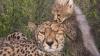 Найди кота: фотограф заснял в Кении леопарда — мастера маскировки