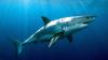 Видео: Рыбак попытался вытащить акулу голыми руками из воды
