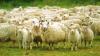 Напуганное медведем стадо овец бросилось со скалы в Пиренеях