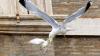 Британка пойдет под суд за выгул чайки на поводке