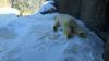 В финский зоопарк для белых медведей привезли тонны снега с горных вершин