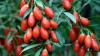 В 26 фермерских хозяйствах Молдовы выращивают годжи