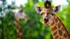 Сотрудница зоопарка изобрела селфи-палку для фото с жирафами