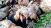 Десятки турецких овец совершили «массовое самоубийство»