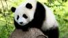 Щенка чау-чау перекрасили в панду для фотосессии с туристами