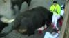 Опасная забава: в забеге с быками в Испании пострадали еще 6 человек