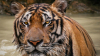 Жителей Индии обвинили в скармливании родственников тиграм