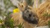 Кролики спасаются от наводнений на спинах овец
