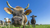 Коровам будущего будет не страшно глобальное потепление