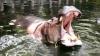 Скончался самый старый в мире бегемот