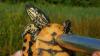 Биологи спасают черепах от вымирания с помощью секс-игрушек