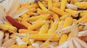 Метеорологи пообещали хороший урожай кукурузы