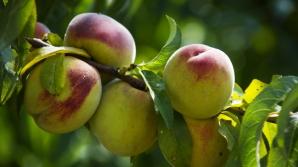 Несмотря на апрельский снегопад, цены на персики поднимать не станут