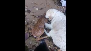 Добрый ретривер спас оленёнка, который прыгнул в воду, спасаясь от других собак