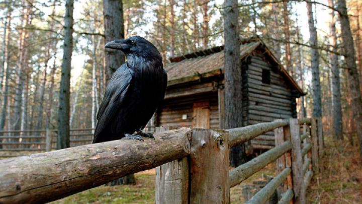 Вороны умеют планировать дела не хуже людей, выяснили ученые
