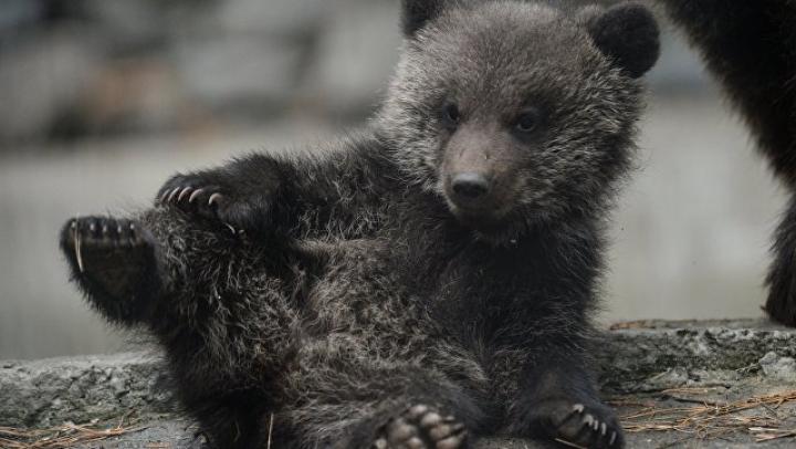 В Приморье гималайский медвежонок полдня отсидел в КПЗ