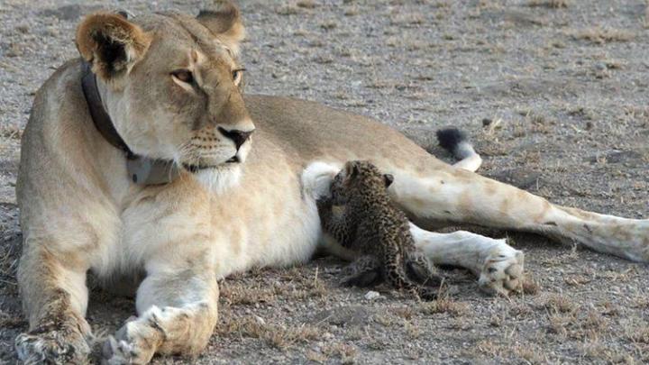 Дикая львица в Африке замечена за кормлением детеныша леопарда