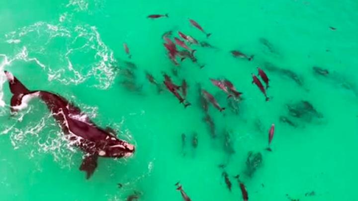 В Австралии плавающий в окружении дельфинов кит попал на видео