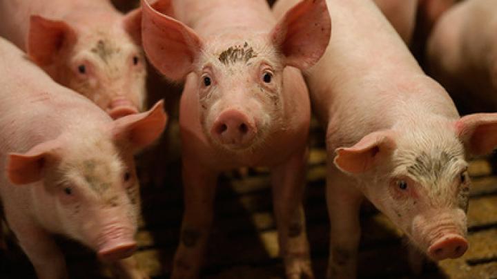 Потребление свинины в Германии обрушилось из-за мусульман и веганов