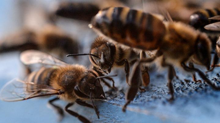 Мозг пчел поможет удешевить камеры