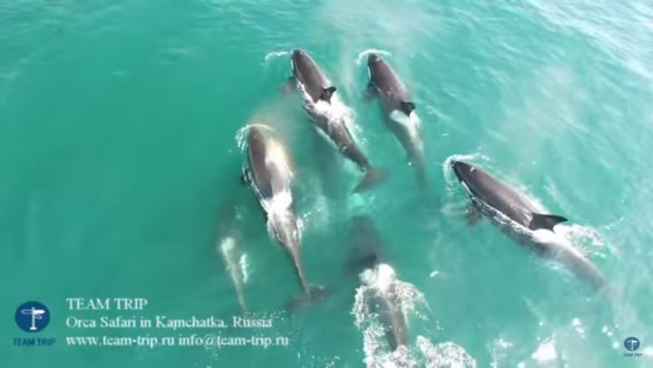 Нападение косаток на кита впервые попало на видео (18+)