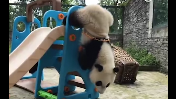 Неуклюжая панда застряла в баскетбольном кольце на игровой площадке в Китае