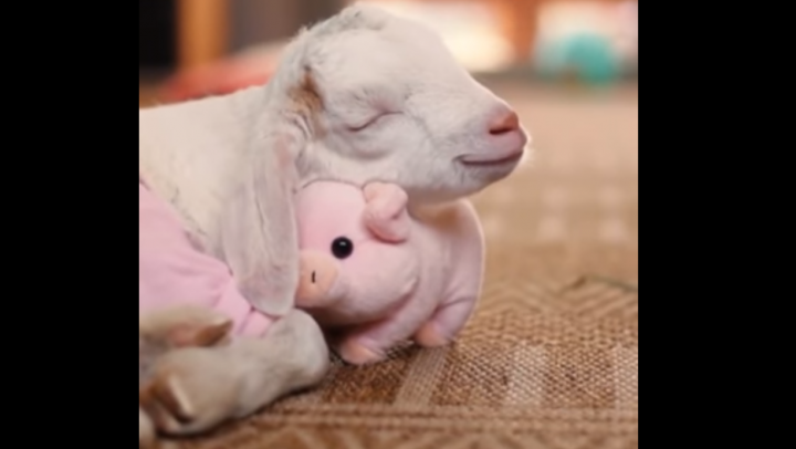 Козочка Жасмин не может уснуть без любимой плюшевой свинки