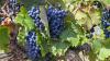 По оценкам минсельхоза, урожай винограда будет на 20% выше прошлогоднего