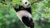 Милые и неуклюжие: в Сети пытаются сосчитать падающих панд на видео