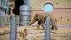 Слон в Индии остановил грузовик, чтобы поесть картошки