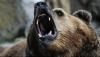В Италии заступились за убитую медведицу, ранее напавшую на человека