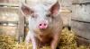 Биологи вырастили свиней с человекоподобными органами
