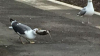 Angry Bird: Туристы сняли на видео, как монстр-чайка убила и проглотила голубя
