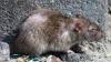 В британском парламенте завелись крысы