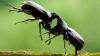 Битва жуков: носорог и олень сошлись в поединке под объективом камеры