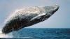 Застрявшего под Хабаровском маленького кита не спасут до следующего прилива