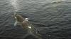 20 человек спасают кита под Хабаровском