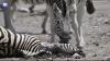 Душераздирающее видео: самец зебры пытается разбудить подругу, умершую при родах