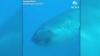 Дайвер встретил очень редкую большеротую акулу