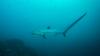 У берегов Антальи поймали пятиметровую акулу