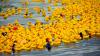 60 тысяч резиновых уточек устроили заплыв по реке в Чикаго