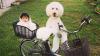 Пудель и маленькая японская девочка покорили пользователей Сети